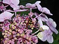 Hydrangea macrophylla 2018-07-09 4746.jpg
