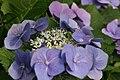 Hydrangea macrophylla 8zz.jpg