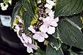 Hydrangea macrophylla Lemon Wave 2zz.jpg