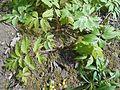 Hydrophyllum virginianum 2017-04-20 8217.jpg