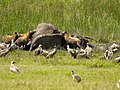 Hyenas smullen van een dode olifant (6693813597).jpg