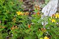 Hypericum kamtschaticum var. senanense 10.jpg
