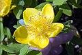Hypericum x moserianum Tricolor 1zz.jpg