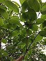 IMG 5281 Heptacodium miconioides Rehder.jpg