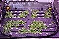 ISS-56 Arabidopsis plants inside the Advanced Plant Habitat (1).jpg