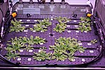 ISS-56 Arabidopsis plants inside the Advanced Plant Habitat (1).jpg