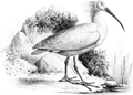 Ibis nippon, 1877.PNG