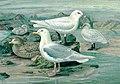 Iceland Gull & Ivory Gull - Naumann.jpg