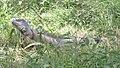 Iguana belize.jpg