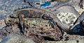 Iguana marina (Amblyrhynchus cristatus), isla Santa Cruz, islas Galápagos, Ecuador, 2015-07-26, DD 46.JPG