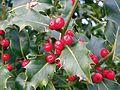 Ilex aquifolium Holly.jpg