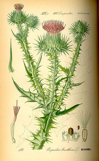 Onopordum - Cotton thistle (Onopordum acanthium) from Thomé Flora von Deutschland, Österreich und der Schweiz 1885