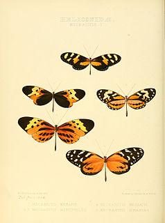 <i>Mechanitis menapis</i> species of insect