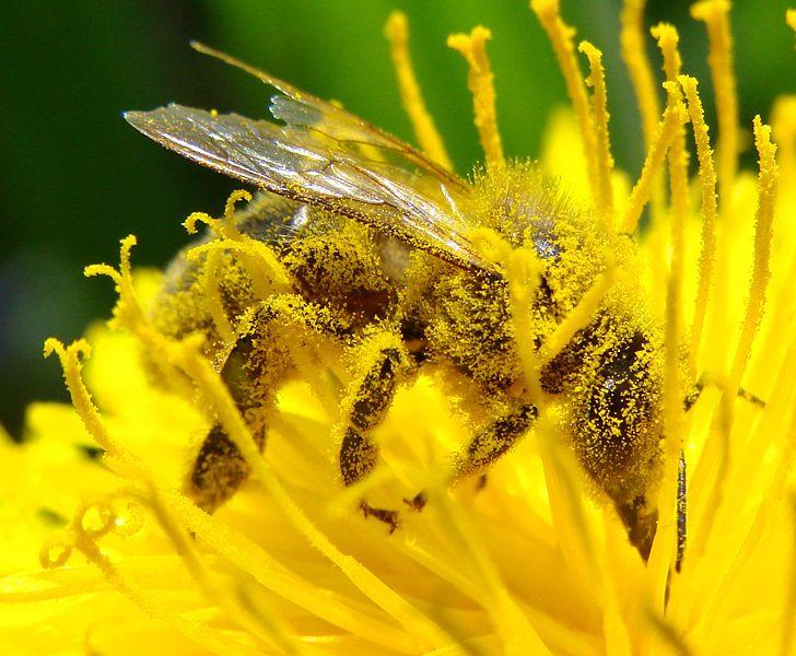 Peľ prichytený na včele