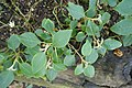 Impatiens purpureo-violacea-Jardin botanique Meise (3).jpg