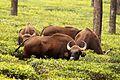 Indian Gaur aka Bison.jpg