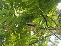 Indian gooseberry.jpg