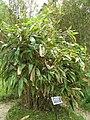 Indocalamus tesselatus2.jpg