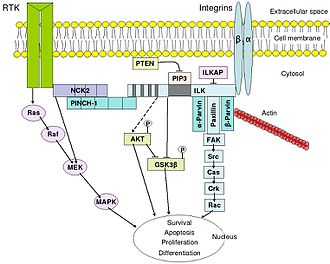Signal transduction - An overview of integrin-mediated signal transduction, adapted from Hehlgens et al. (2007).