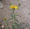 Inula salicina subsp salicina.jpeg
