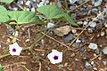 Ipomoea obscura-2426 - Flickr - Ragnhild & Neil Crawford.jpg