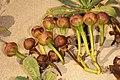 Ipomoea pes-caprae subsp. brasiliensis 5Dsr 7961.jpg