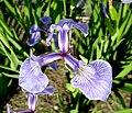 Iris hookeri fleur.jpg