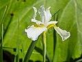 Iris sanguinea-IMG 0499.jpg
