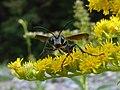 Isodontia mexicana on Solidago 04.jpg
