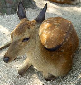 Szikaszarvas (Cervus nippon)