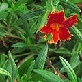 J20150929-0022—Mimulus 'Fiesta Marigold' PPAF—RPBG Plant Sale (21848007925).jpg
