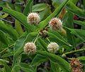 J20160901-0018—Cephalanthus occidentalis—RPBG (29171401700).jpg