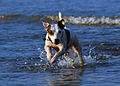 Jack Russell Terrier Eddi in the Sea.JPG