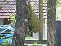 Jackfruit 90.JPG