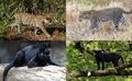 Jaguar and Leopard Panthers.png
