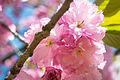 Japanese Flowering Cherry (Prunus sp.) (17042003568).jpg
