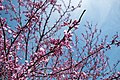Japanese Friendship Garden (4527073600).jpg