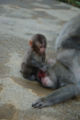 Japanese Macaques baby.JPG