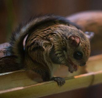 Japanese dwarf flying squirrel - Japanese dwarf flying squirrel