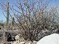 Jatropha cuneata.jpg