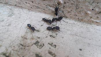 Jazz ants 2.jpg