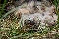 Junge Sumpfohreulen im Nest.jpg