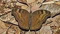 Junonia iphita-Kadavoor-2016-08-08-002.jpg