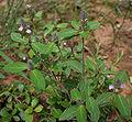 Justicia procumbens in Talakona forest, AP W IMG 8551.jpg