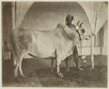 KITLV 26561 - Isidore van Kinsbergen - Taurus in Bali - Around 1870.tif