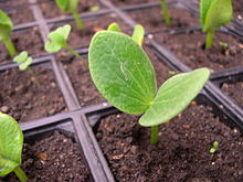 Kabocha seedling at seven days age