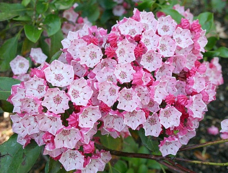 bouquet de fleurs de kalmia