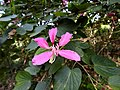 Kanchan tree Bauhinia variegata by Dr. Raju Kasambe DSCN0979 (11).jpg