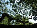 Kew Gardens Pagoda Tree P1170590.JPG