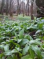 Killarney National Park Wild Garlic.jpg